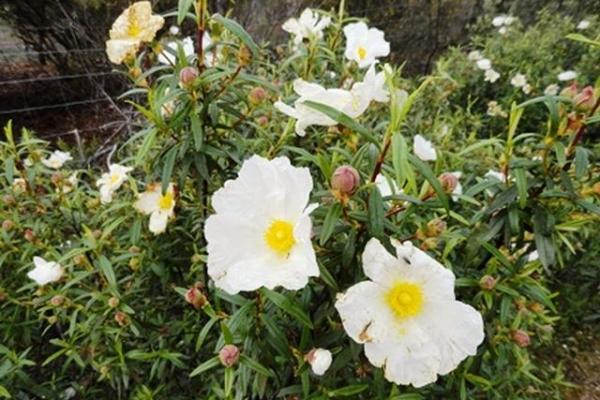 flor-la-jaraBE9358B0-805D-259F-1726-189E1B11E2A1.jpg